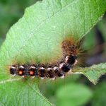 browntail moth caterpillar with distinctive double orange spots