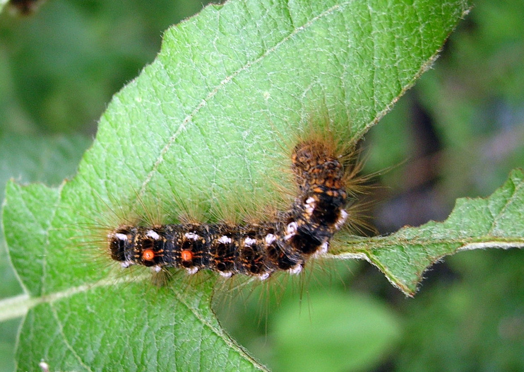 Avoid Browntail Moth Stop Itching Maine Senior Guide