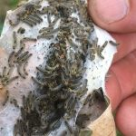 browntail moth hatching